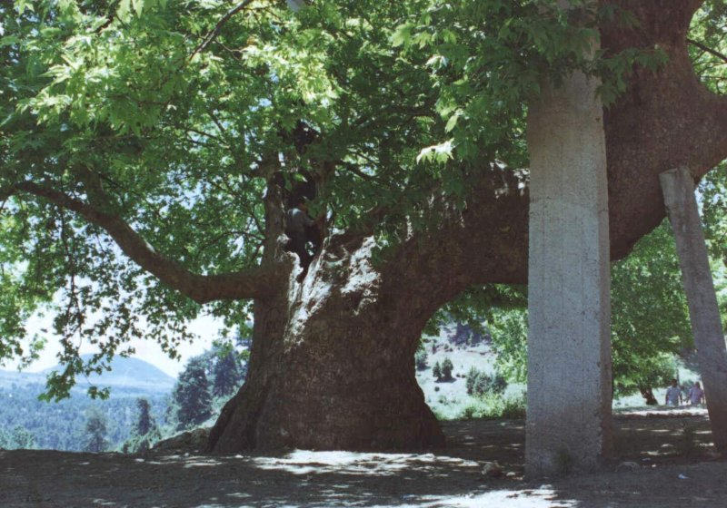 Mersin de koca çınar ağaçları ile ilgili görsel sonucu